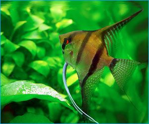 1000 images about angel fish on pinterest angelfish for Pet koi fish tank