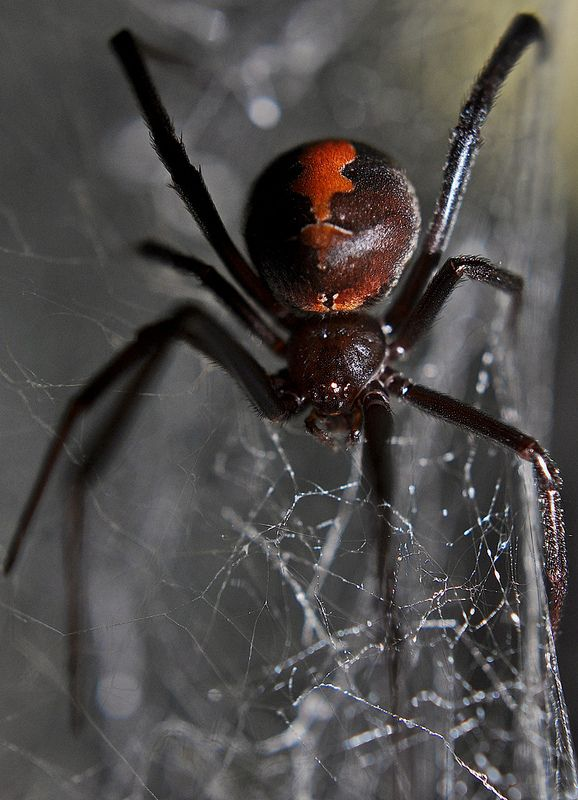 Redback spider--Latrodectus hasselti | by markusOulehla