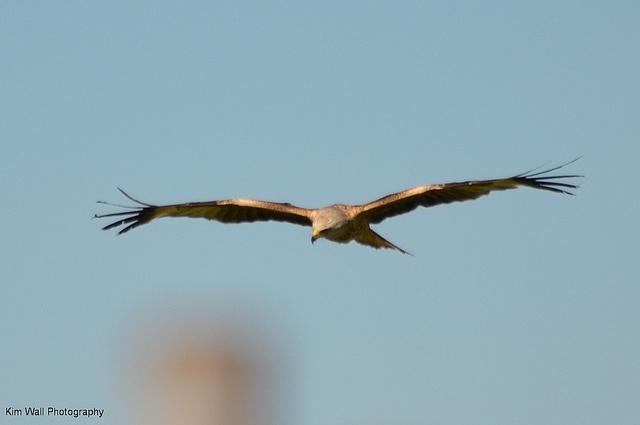 Red Kite (in Somerset)