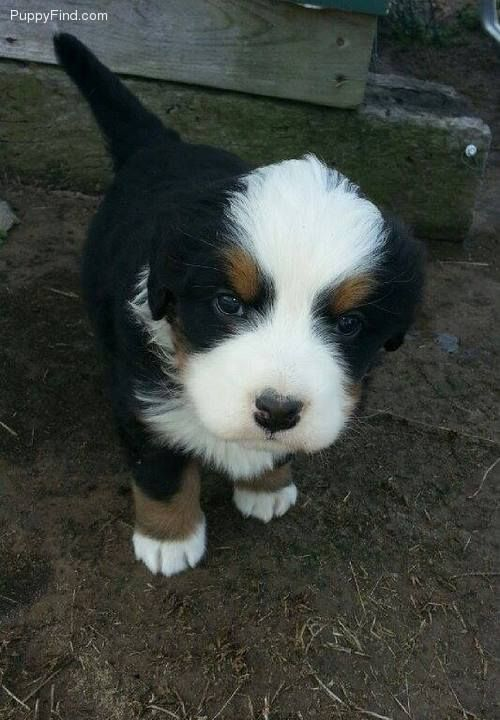 Gus | Male Bernese Mountain Dog For Sale in Haskell OK | 3620609608 | 3620609608 | Dogs on Oodle Marketplace