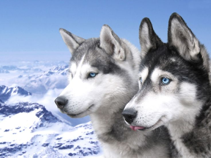 These days, the Husky is still a popular sled dog breed, but they are also used as family pets and show dogs.