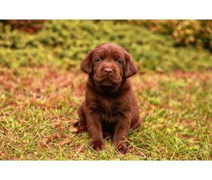 AKC English Labradors for Sale | English AKC Lab puppies | Labrador Retriever Puppy For Sale in Du Bois ...