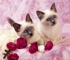ragdoll,cat , kočka