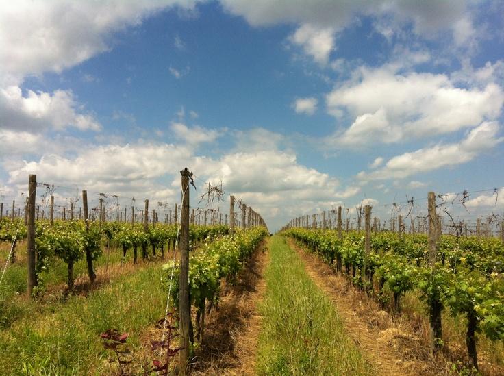 Barbera vineyard