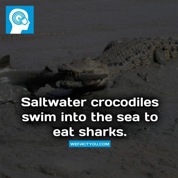 Saltwater crocodiles swim into the sea to eat sharks. Fact.