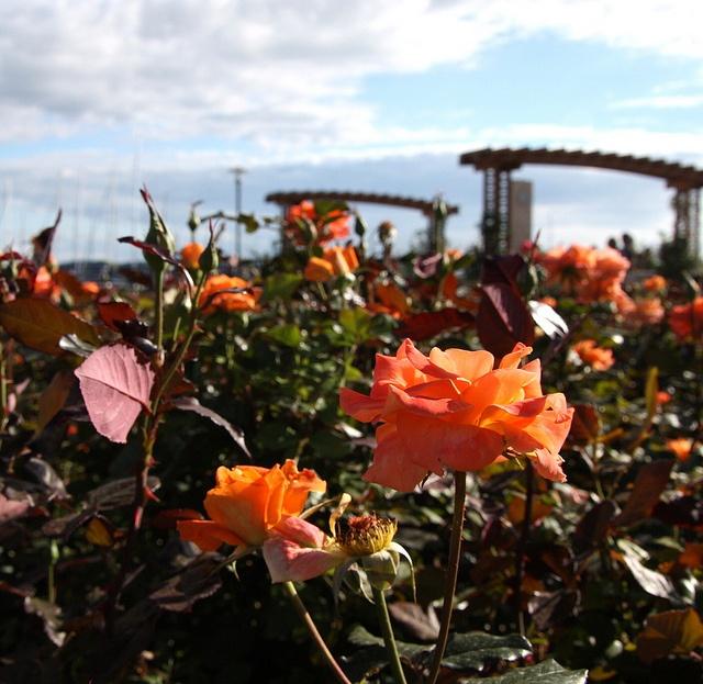 roses #balaton #hungary #balatonfured