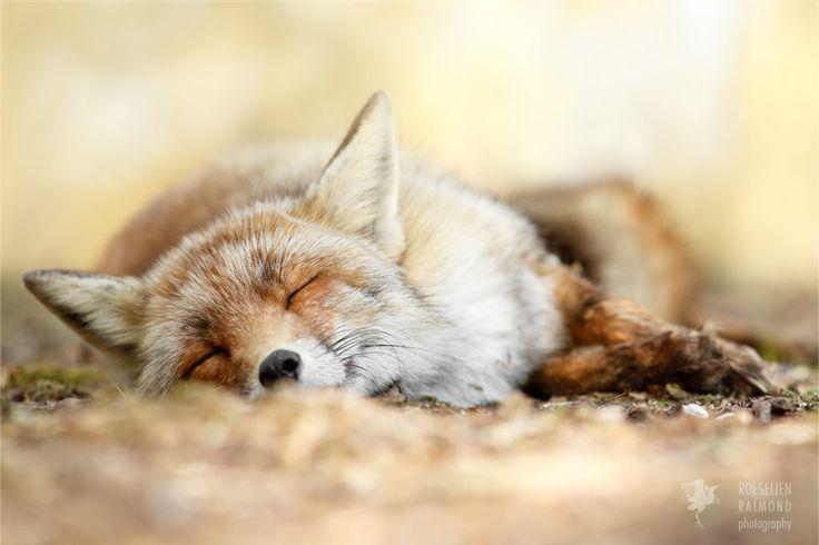 Sweet Dreams - Red Fox taking a nap