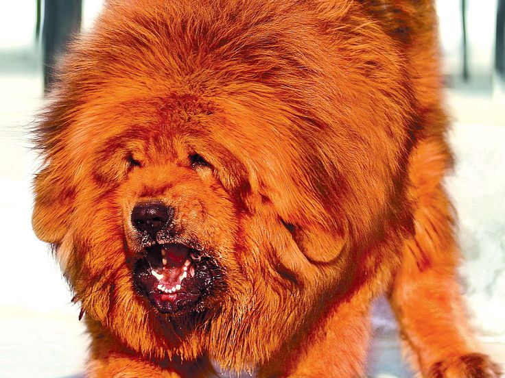 tibetan mastiffs wallpaper | Tibetan Mastiff Dogs Wallpaper HD