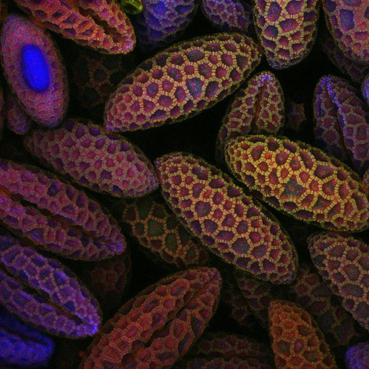 spores of lily pollen