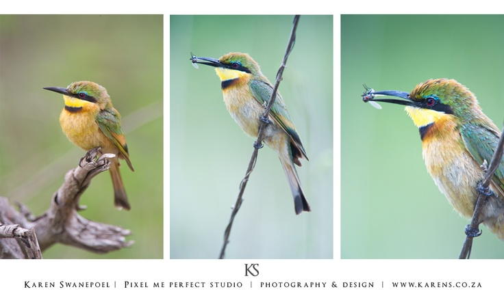 Little Bee Eater, that caught a fly