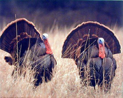 Pair Of Wild Turkeys Animal Bird Hunting Art Print Poster (16x20)