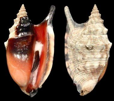 Euprotomus aratrum melanostomus (f) (Sowerby, G.B. I, 1825) Black Mouthed Conch Shell size 55 - 100 mm W Pacific - Bay of Bengal