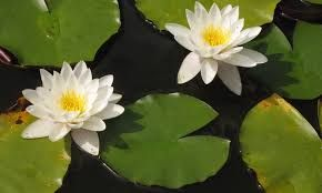 Image result for Nymphaea alba