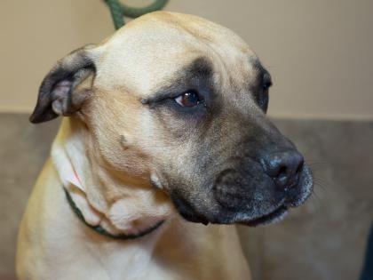Petango.com - Meet Izzy, 8y 1m Bullmastiff / Mix available for adoption in COLORADO SPRINGS, CO