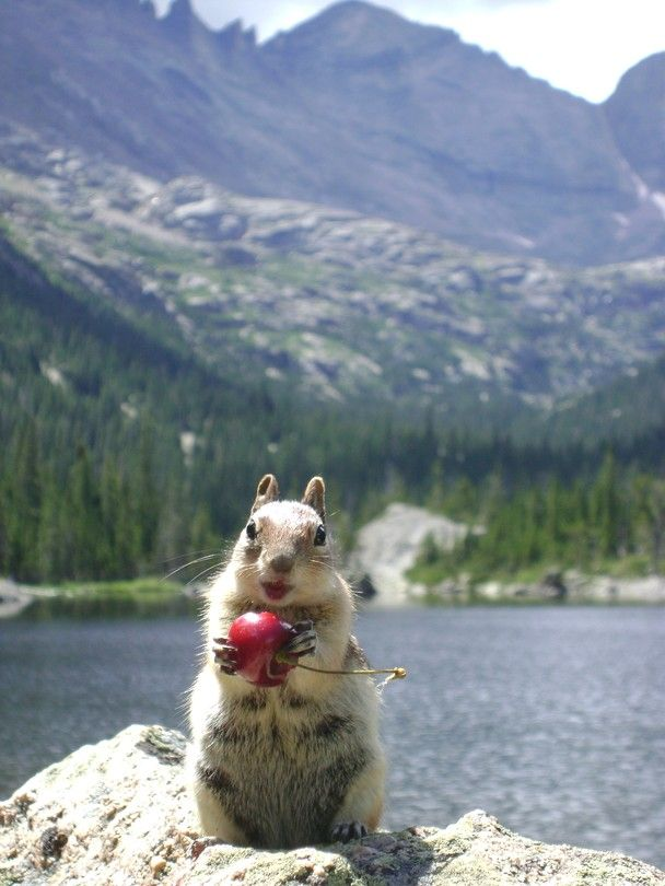 A squirrel is going to eat a cherry!