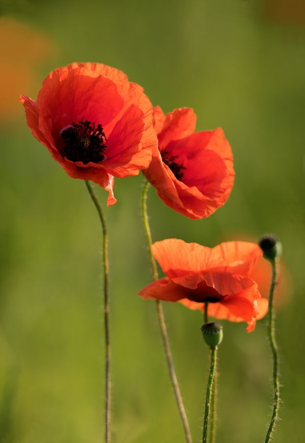 Delicate Poppy Mohnblume Schone Blumen Mohn