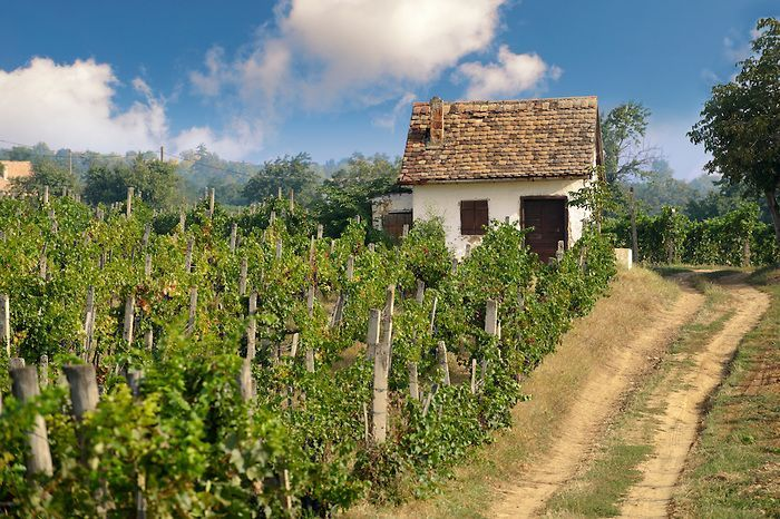 Photos, Pictures & Images of The Vineyards of Villany Hungary