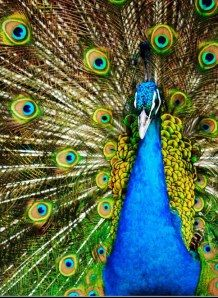 Information about peacocks... what the spiritual meaning is