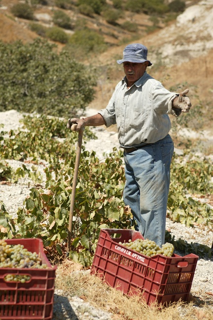 #grapes #september #Greece #PlosDesign