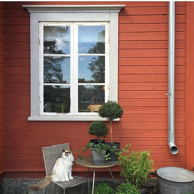 Köksfönster och skuggväxter. Och linslusen som alltid vill vara i mitt fokus eller runt mina ben... Kitchen window and plants. And the cat that always wants to be in my focus. Or around my legs... #finahem #vackrasvenskahem #byggnadsvård #vintagedecor #rustichome #renoveringsdamm #homedecor #interior_and_living #interior4all #torpet #personligehjem #lantliv #countryliving #interiorwarrior #instahome #oldhouses #renovation #sweden #visitsweden #svensksommar #ragdollcat