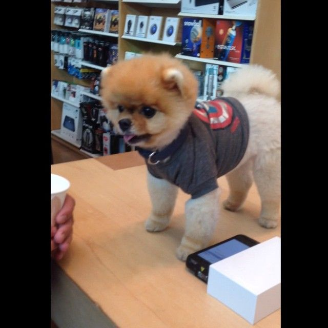 Best Famous Jiff Pom Dog Images On Pinterest Pom Dog Dogs - Jiff the pomeranian is easily the best dressed model on instagram