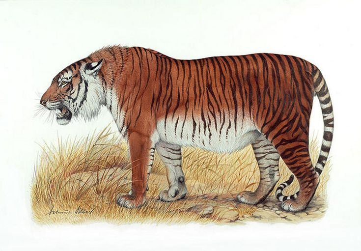 Caspian tigers, some of the largest cats that ever lived—up to 10 feet long and weighing more than 300 pounds—met a grim end in the middle of the 20th century.