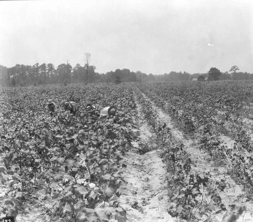 Cotton demonstration plot on Potter farm, Dallas County :: Alabama Cooperative Extension Service Photographs