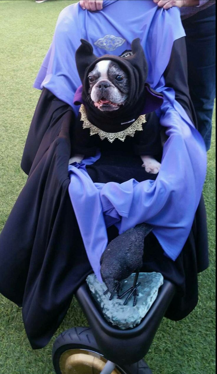 "Dory the tripod took first place for ""Most Scary"" in her contest!  #Maleficent #frenchbulldog ##tripod #halloween #mostscary #contest #FroodiesHoodies #FrenchiesOfInstagram"