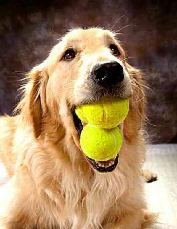 Goldens DO love their tennis balls!