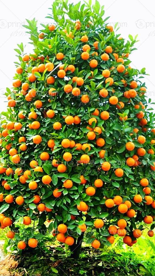 Ucuz 20 adet/torba orange tohumları tırmanma orange ağacı tohumu bonsai organik meyve tohumları ev bahçe için bir noel ağacı gibi pot bitki, Satın Kalite bonsai doğrudan Çin Tedarikçilerden: 50/bag banana seeds rare big hainan Pink Banana SeedsUSD 1.55/lot50 Pcs 2014 Real New Outdoor Plants Winter  Potted Edib