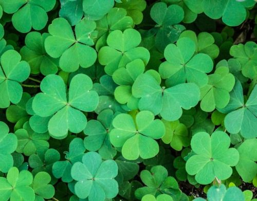 Clover  aka Trefoil Cleaver Grass Marl Grass Cowgrass Three Leaved Grass Honeystalks Shamrock Trifoil  Element:AirPlanet: MercuryAssociations:Fidelity protection money love and success  Use in consecrating both pentacles and ritual tools made of copper.  Carry as an amulet or use in sachets for luck attracting money fidelity maintaining mental acuity and/or protection.  Thought to keep snakes away from property when grown outside.  Sprinkle around the home to remove negative spirits…