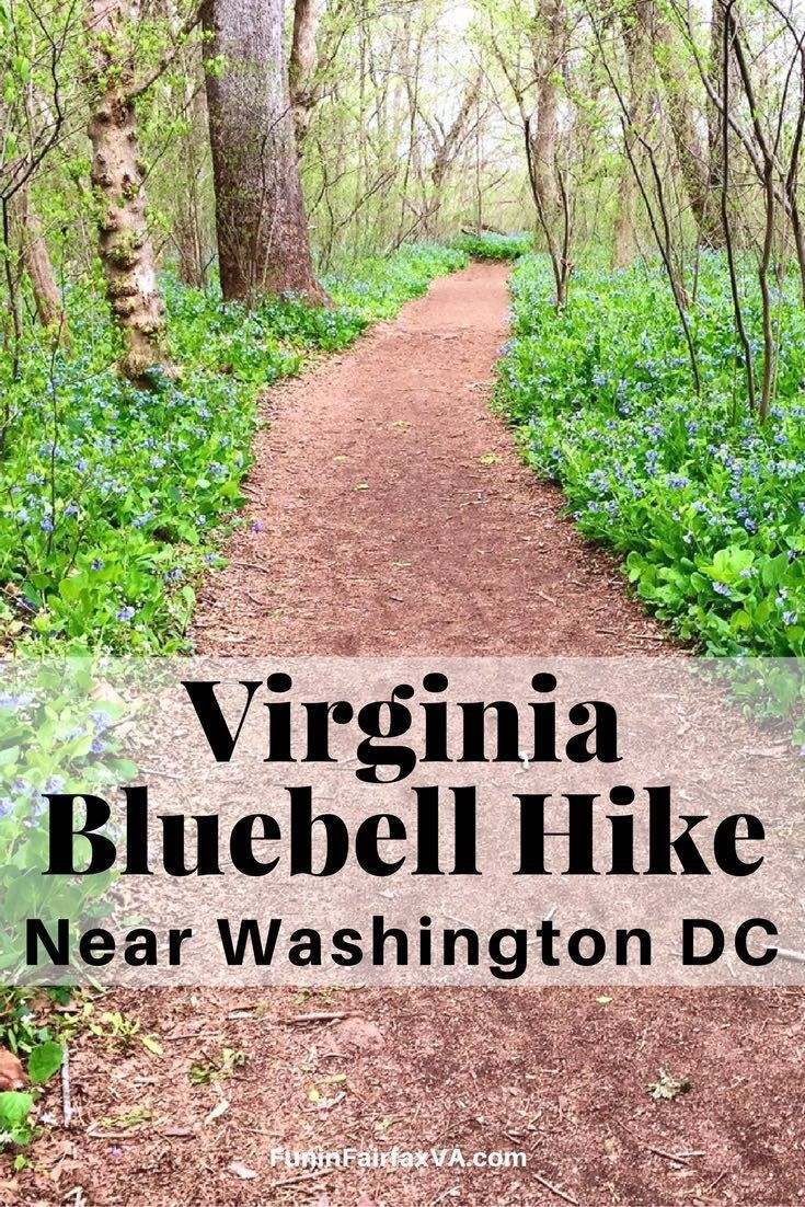 Enjoy a beautiful Spring hike near Washington DC, when Virginia bluebells cover the ground  at Riverbend Park in Great Falls, Virginia. USA