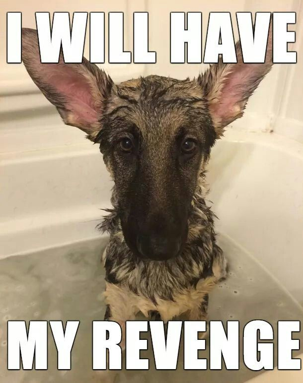 #GSD #Puppy