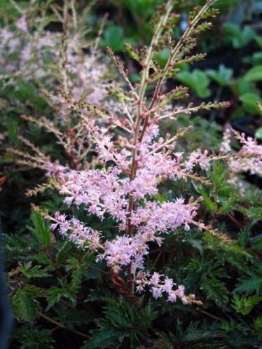 De volledige naam is astilbe sprite. Vaste plant. Bloemkleur: zacht roze. Bloeitijd: augustus-september. Volwassen hoogte: circa 30 centimeter. Bijzonderheden: de plant heeft brons kleurig blad. De