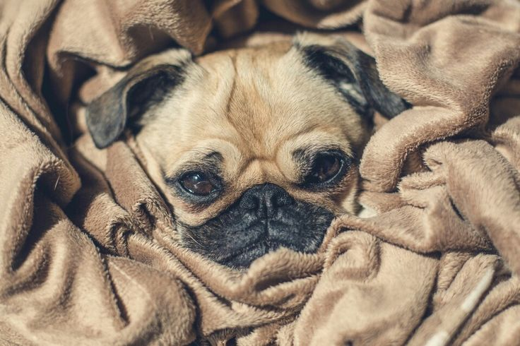 I don't usually think pugs are cute but this one is adorable