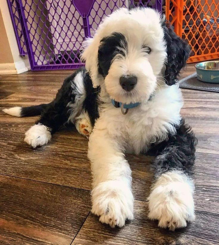 Pin By Sydney Nelson On P U P S In 2020 Sheepadoodle Mixed