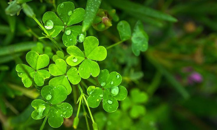 The presence of clovers is a sign that your lawn isn't in good health. Therefore, get rid of them as quickly as possible. Here are natural ways
