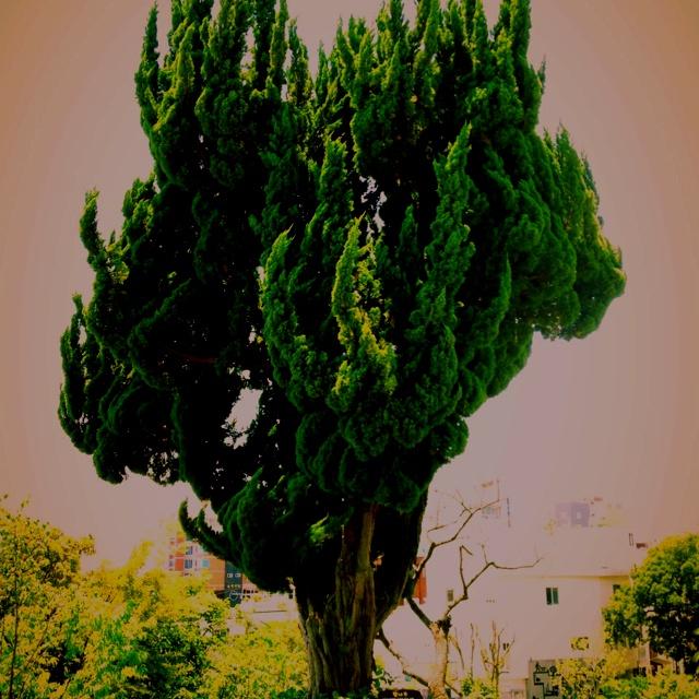 Cypress at LeeJungSub galley. 이중섭 미술관 향나무