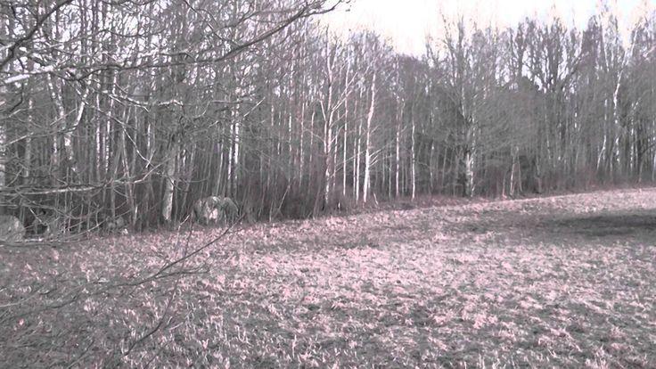 lockar 4 älgar ur skogen!
