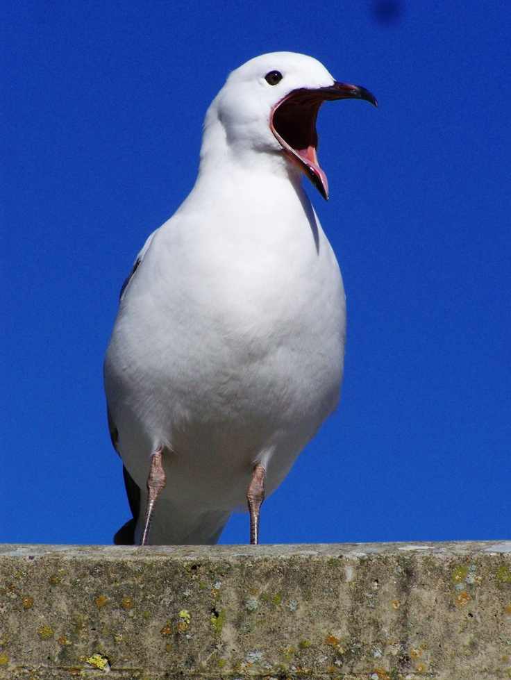 Seagull. Wellington, New Zealand. Photograph by Wayne Visser. Copyright 2010.