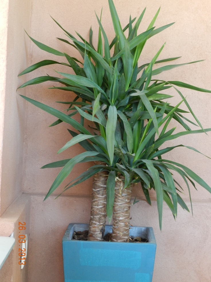 27 best images about plantas para interiores on pinterest - Yucca elephantipes cuidados ...