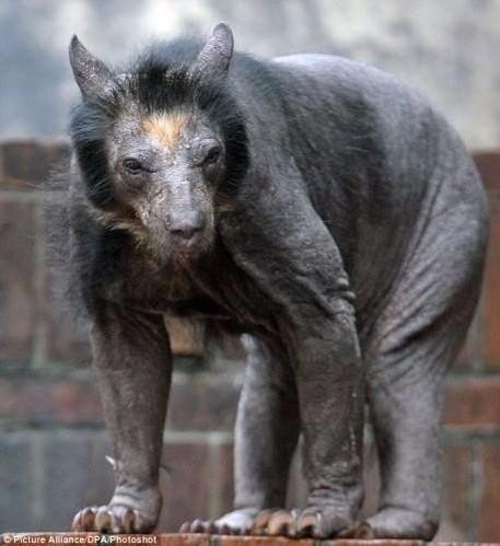 Бритый медведь выглядит устрашающе
