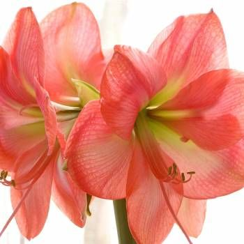 The Best Flower Pictures: Coral Amaryllis