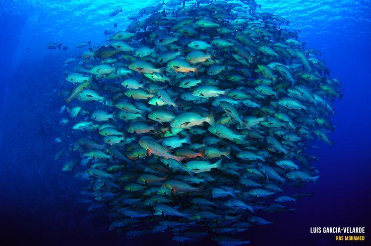 Marine National Park of Ras Mohamed, Egypt. Luis García-Velarde