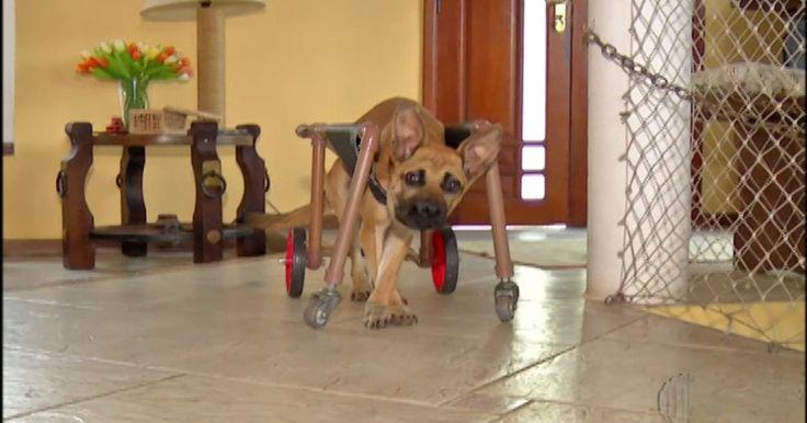 Cão vira-lata faz tratamento com células-tronco em Mogi das Cruzes