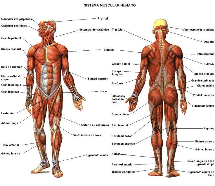 Lista de Músculos: descripción, origen, función, imagen..