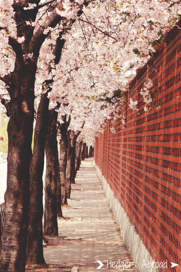 Cherry blossoms in Seoul, South Korea.