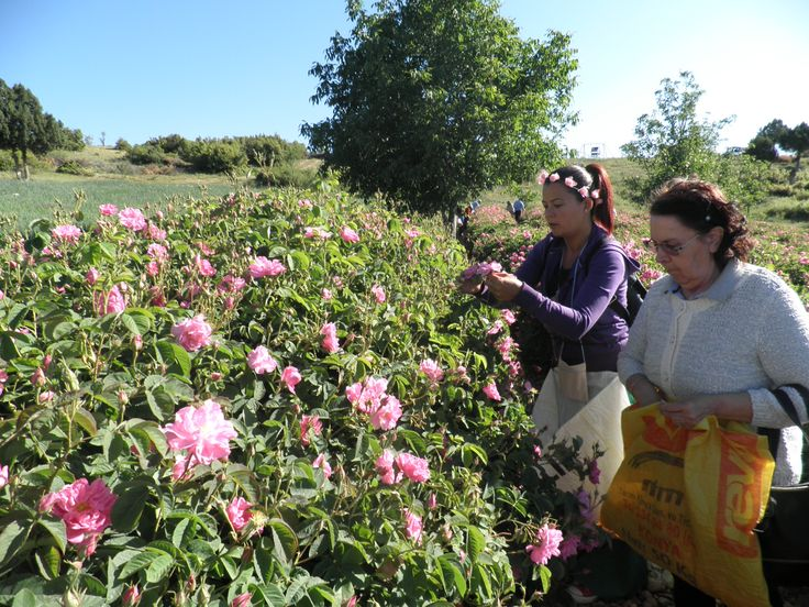 Isparta /Turkey Gül Hasadı Turu (Isparta Rose Harvest Tour) Detaylar (detail) http://www.folklorik.com/default.aspx?pid=20724&nid=73736