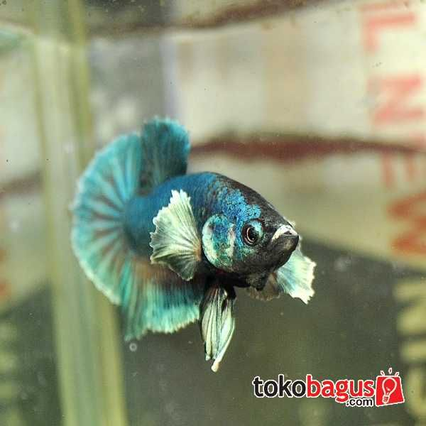 1000 images about beautiful betta fish on pinterest for Big betta fish