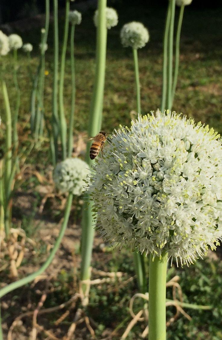 Quasi bianco più ospite (fiore di cipolla)
